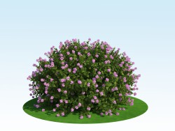 3D model of spiraea japonica ' Little Princess '