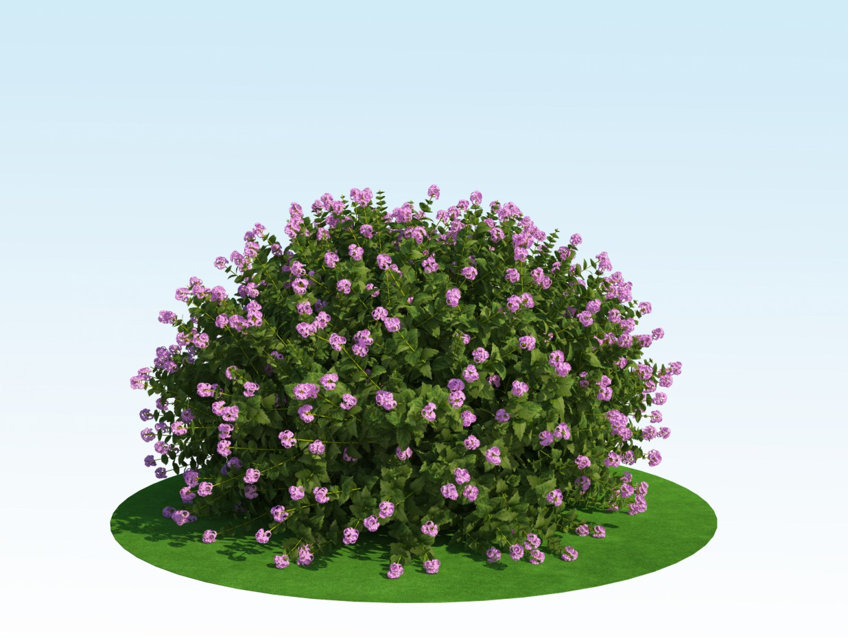 3D model of spiraea japonica ' Little Princess ' in 3d max vray 2.0 image
