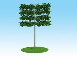 3D modeli Linden macrophylla Goblen gövde