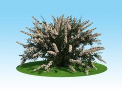 Modelo 3D de spirea Nippon