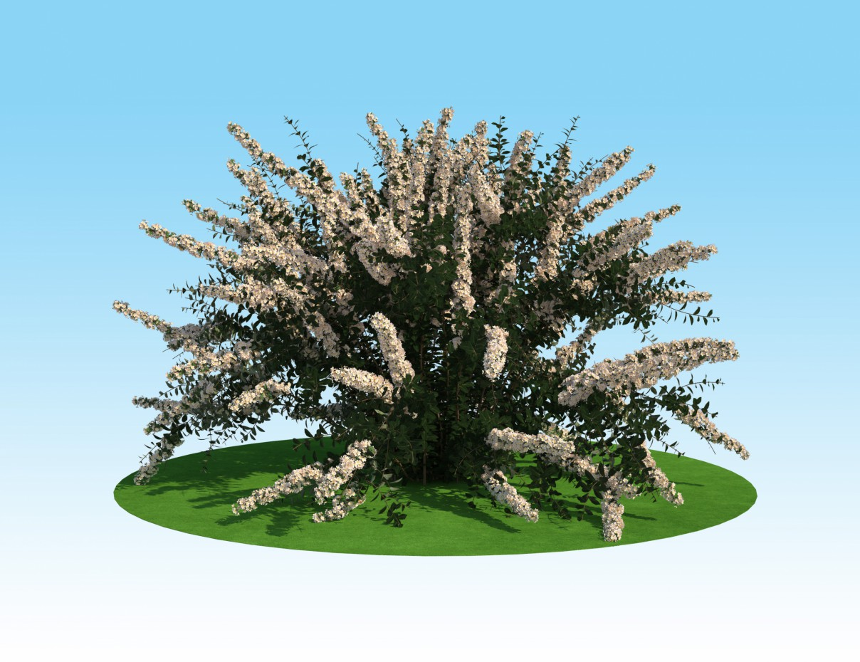 3D model of spirea Nippon in 3d max vray 2.0 image