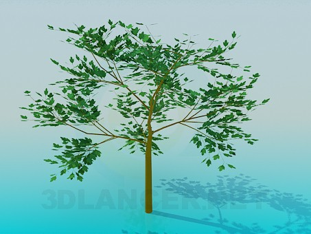 3d modeling Young maple model free download
