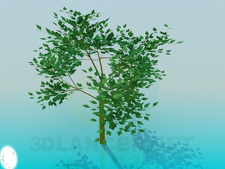 3d model Young maple - preview