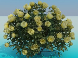 Roses de buisson luxuriante