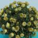 3d model Lush bush roses - preview