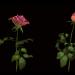 3d roses model buy - render