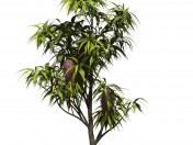 Banksia serrate