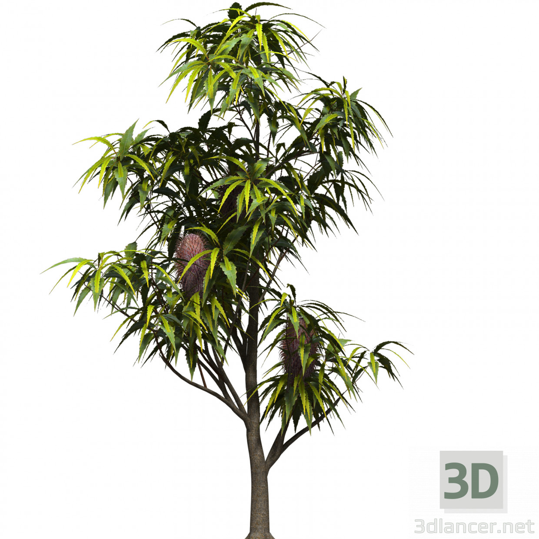 3d model Banksia serrata - vista previa
