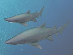 Tiger sand shark