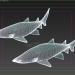 3d Tiger sand shark model buy - render