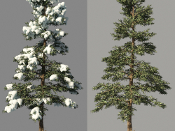 Winter spruce_Fir Winter