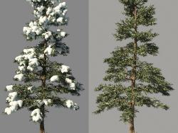 Inverno spruce_Fir inverno