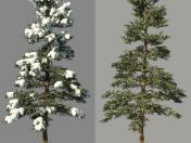 Winter spruce_Fir Winter