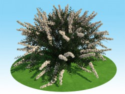 3D model of spiraea nipponskaya