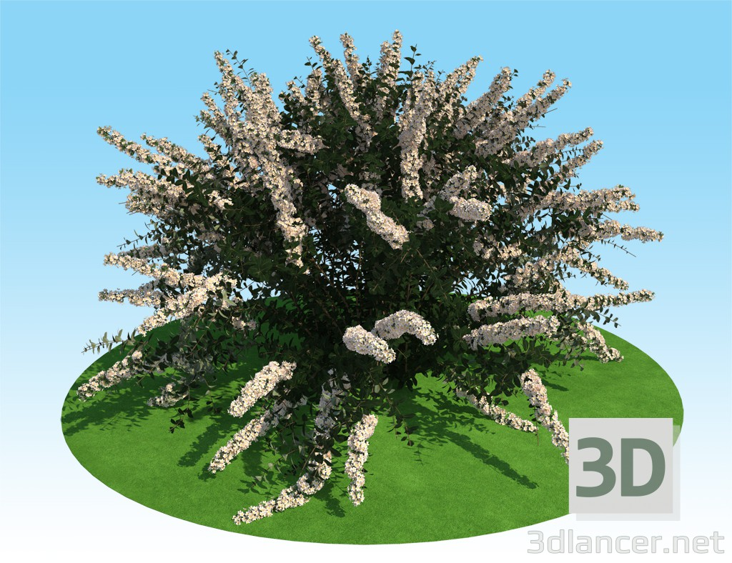3d 3D model of spiraea nipponskaya model buy - render