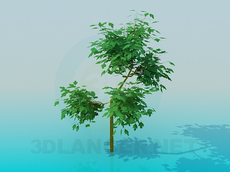 3d model Maple - preview