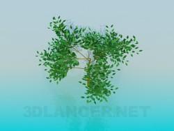Niedrige Baum