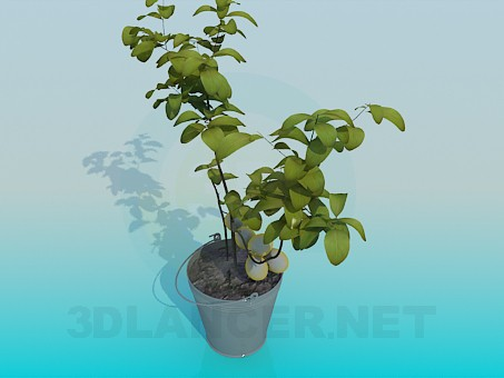 3d model Fruiting indoor plant - preview