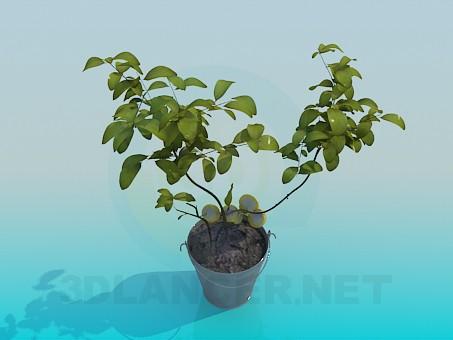 3d модель Плодовое комнатное растение – превью