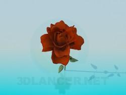 Rose, Schnittrose