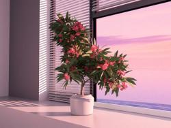 Oleander blooming