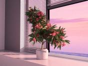 blühende Oleander
