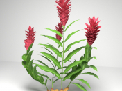 Red Ginger Plant