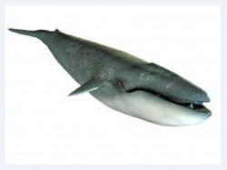 Большой кит