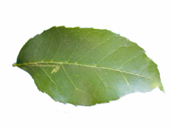 Asche Blätter