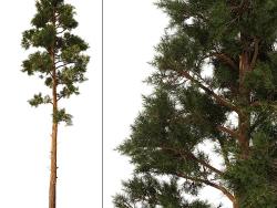 Pine_Pine