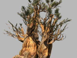 Modelo Pine - BristleconePine