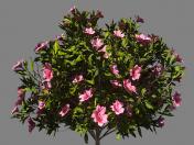 Bush azalea