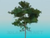Exuberante pino