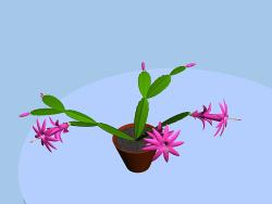 Zygocactus de florescência