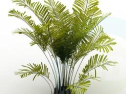Palma canarensis