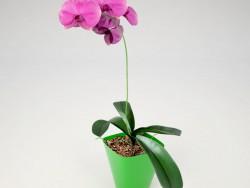 Phalaenopsis आर्किड