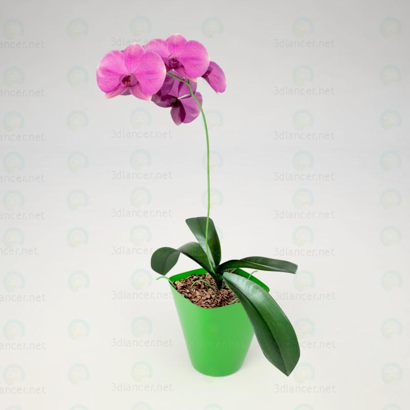 3d Phalaenopsis Orchid model buy - render